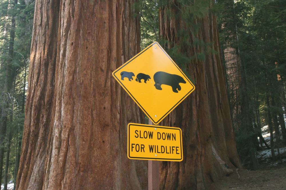 5 bear crossing