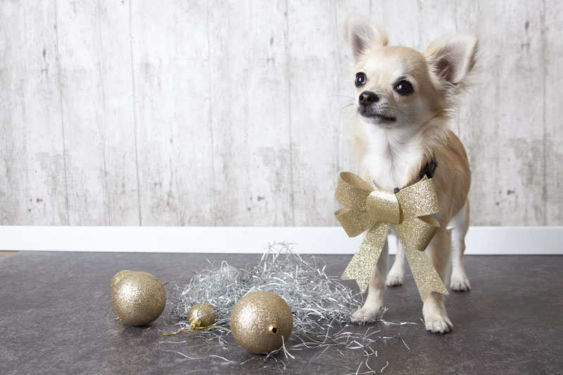 Holiday Glam Chihuahua Dog | By Glamstyle