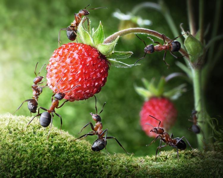 Ants & Strawberries
