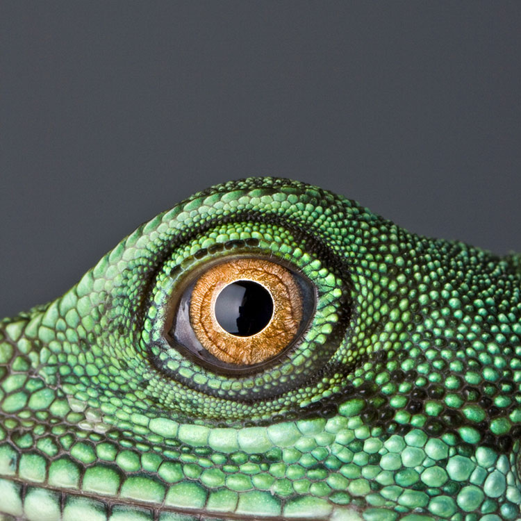 Sharon Alexander | Eye of Chinese Water Dragon