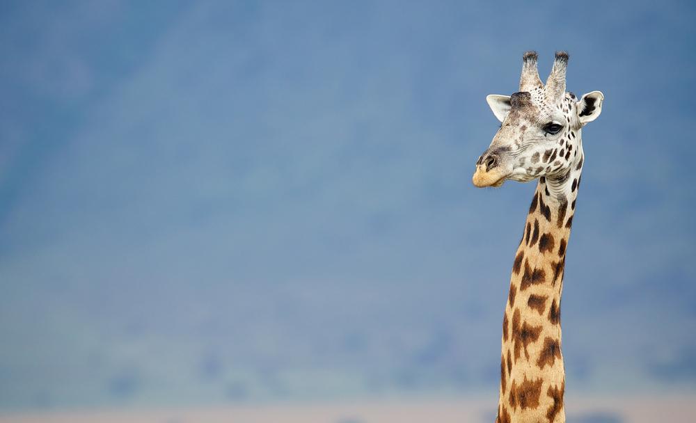 Big male giraffe against a blue mountain by Mark Bridger