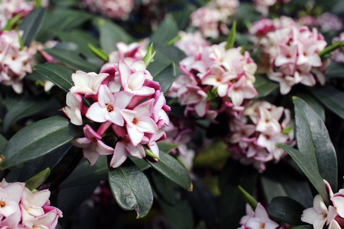 Drop dead gorgeous 8 of the worlds most poisonous flowers the daphne izmirmasajfo