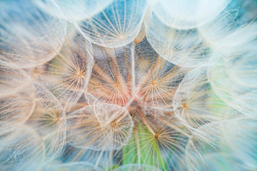 macro dandelion photos that look like paintings